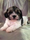 Sable and White Teddy Bears | Iowa Puppies for sale | Professional Breeder | Pups Ready End of May 2014 |
