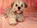 Male Schnoodle Born August 3, 2012 Ready Now!