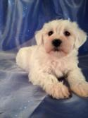 Schnoodle Puppies for sale can fly to San Francisco, San Diego, San Jose, Orange County, or LAX for less than Half the Price of Most Schnoodle Breeders!