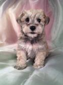 Most Schnoodle Breeders in New Hampshire and Maine with schnoodle Puppies for Sale charge double the Purebredpups price for shipping.
