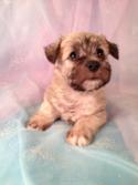 Female Schnoodle Puppy for sale #1 Born on March 26th 2013|Schnoodle Breeders with schnoodles ready in June!