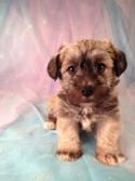 Schnoodle Puppy for sale #2 DOB 3-26-13|Schnoodle Breeders in Illinois and Wisconsin would love to know how Purebredpups can ship puppies for only $150.