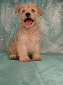 Male Schnoodles for Sale|Iowa Breeder|Shipping $150