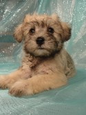 Female Schnoodle puppies for sale in Iowa August 2012
