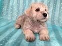 Male Schnoodle for sale Ready Now September 2012