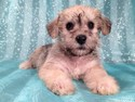 Schnoodle puppies for sale Female Iowa Breeder Sept 2012