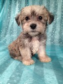 Puppies for sale Iowa Breeder 2012 Schnoodle Female