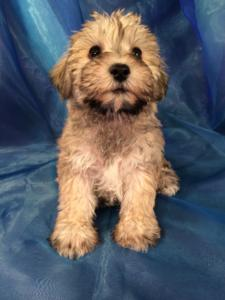Female Salt and Pepper Miniature Schnauzer Bred to a Miniature Poodle