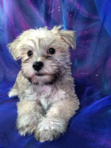 Iowa's Top Mini Schnoodle Breeder Has Puppies for Sale Now!
