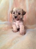 Female Schnoodle Puppy for sale #6 Born Sept. 1st 2013|Looking for a Breeder or Schnoodle Puppies for sale around Fort Lauderdale FL? We ship there! Purebredpups!