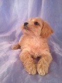 Female Schnoodle Puppy for sale #9 Born March 1st 2013|Qiujn Yu