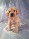 Male Schnoodle Puppy for sale N#11 Mary NH