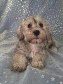 Female Schnoodle for sale in Iowa Just South of the Minnesota Border|Puppies are Ready Now!