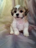 Shih tzu Bichon Puppies Are Also Called Teddy Bear Puppies.  The Shih tzu Bichons For Sale Were Born 9-4-15.