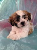 Teddy Bear Breeders in Minnesota and Illinois are Welcome to Buy Shih tzu Bichons From Iowa's Top Dog Breeder!