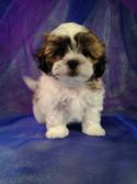 Male teddy bear puppy for sale DOB 2-5-15 The mother is a Shih tzu and the father is a Bichon.