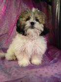 Male shih tzu bichon Puppy for sale #1 DOB 10-26-14