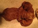 Two Male Miniature Goldendoodles Born on Feb. 28 F1b puppies #5 and #6. Dark Red Iowa Puppies for sale.
