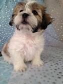 Male Shih tzu Bichon for sale #3 Born 1-15-2015 The teddy bear puppies cost $675