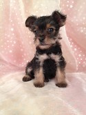 Female Black and Tan Snorkie Puppy for sale #18 Born October 12, 2012|Ready December 2012|Twenty-Five Miles south of Albert Lea, Minnesota