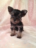 Teacup Snorkie Puppy for sale #22 Ready By Christmas 2012|Shipping for Less than What an Iowa or Minnesota Breeder would pay|$150 on Delta air