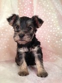 Male Snorkie Puppy for sale #21 Ready December 2012|Shipping out of Minneapolis Minnesota $150 Most Minnesota Dog Breeders Charge More