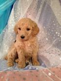 Have you been Looking for standard Poodle Breeders or Standard poodle Puppies for sale in Wisconsin, Minnesota, or Illinois? Try Iowa's Top Breeder!
