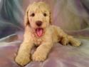Male Standard Poodle Puppy for sale in Iowa by Iowa's Best Breeder $675 These dogs have green eyes and are up to the breed standard of 15 inches at the shoulders.