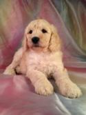 Are you looking for a professional breeder of dogs in Iowa? Iowa's top breeder Purebredpups has an apricot colored male poodle puppy for sale!