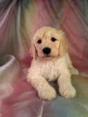 Standard poodle Breeders in Iowa. Female Cream Standard Poodle Puppy for Sale only $675. Trust Iowa's Best Breeder to Deliver Value at an Affordable Price!