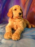 Male Standard Poodle DOB 8-26-2015 Red Puppy for Sale $675