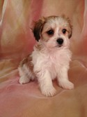 White and Red Female Teddy Bear Puppy for Sale Ready Christmas 2012|Puppy Named Christmas