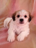 Lhasa Bichon Puppies for sale|Lhasa Bichon Breeders South of Minnesota|Christmas Puppy for sale