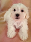 Male Lhasa Bichon #33 Ready for Christmas 2012|Easy pick up for Minnesota, Wisconsin, and Illinois