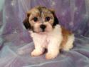 Female Shih tzu Bichon Puppy for sale #2 Born April 20th 2013|Iowa teddy bear Breeders with teddy bears for sale Now!