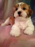 Attention Minnesota, Illinois, Wisconsin, and Iowa!  Purebredpups has Teddy Bear Puppies Available.  Lhasa and Bichon Mix Breed Puppies for Sale!