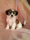 Male Lhasa Bichon Puppy for Sale #2 DOB 2-26-2015  WI, IL, MN, Breeders are welcome!
