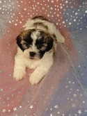 READY Female Shih tzu Bichon Puppy for Sale