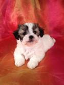 Male shih Tzu Bichon Puppy for sale #1 DOB 12-12-13 Teddy bear breeder who has puppies for sale at lower prices than most bichon shih tzu Breeders in FL,ME,NH,NC,CA,NJ,MD,MA,and PA.