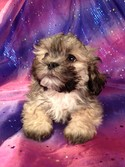 Male Lhasa Bichon for sale#2|Purebredpups has teddy bear Puppies for sale at lower Prices than most teddy bear breeders in Maryland