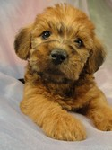 Female Bichon Poodle puppy for sale #14 Born April 2, 2012