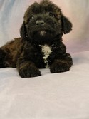 Female Bichon Poodle Puppy for sale in Iowa #16 Born April 2, 2012