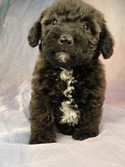 Female Bichon Poodle Mix #17 Born April 2, 2012 Iowa