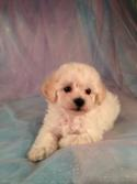 Male Bichon Poo #6 Born March 25th 2013|Sire- Bichon Dam- Poodle Ready By June 2013
