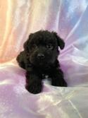 Female Black and White Miniature Schnoodle Puppy For Sale #8 DOB 10-19-14