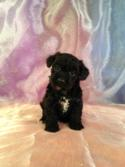 Female White and Black Schnoodle Puppy for sale in Iowa DOB 10-19-14 #7 Iowa's Top Breeder of Schnoodle Puppies!