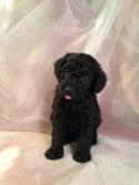 Male Schnoodle Pup for Sale #6 Near the Iowa Minnesota Border. DOB 10-19-14