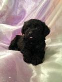 Female schnoodle Puppy for sale in North Iowa #4 DOB 10-19-14 Black and White Puppies