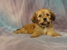 Male cavachon puppy for sale #14 Born January 1, 2012