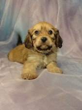 Male cavachon puppy for sale #15 Born January 1, 2012